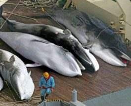 япония китобои