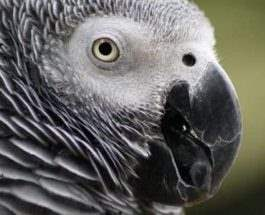 попугай серый