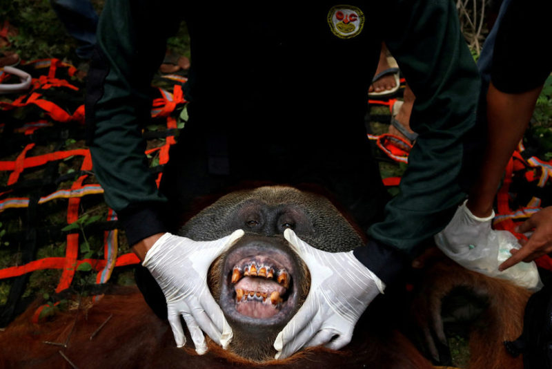 Ветеринар осматривает орангутанга