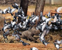 Голуби летают вокруг маленького носорога