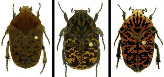 жуки скарабеи