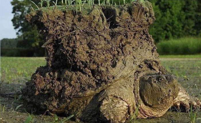 черепаха земля