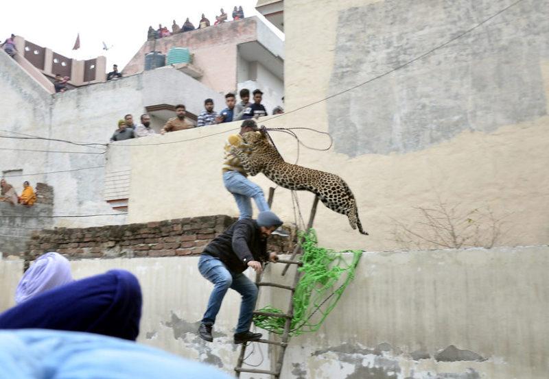 Мужчина пытается поймать леопарда