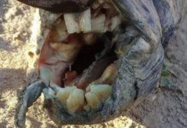 Странное животное с человеческими зубами