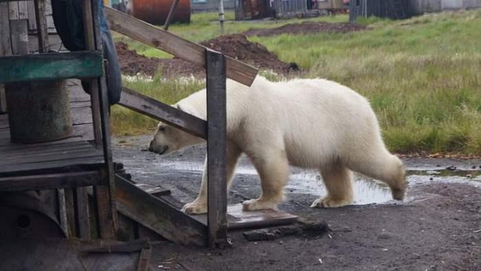 белые медведи Новая Земля