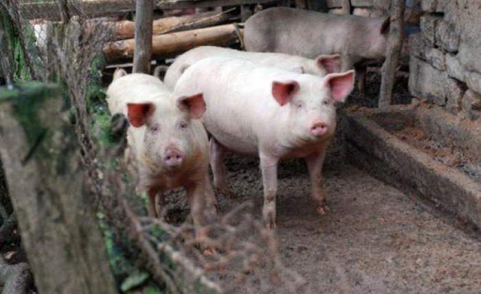 свиньи удмуртия