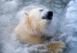 Белый медведь Феликс купается в бассейне в зоопарке в Красноярске
