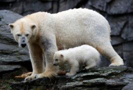 Белый медведь из берлинского зоопарка