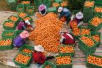 Женщины перебирают апельсины