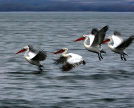 Пеликаны летают над озером Дойран
