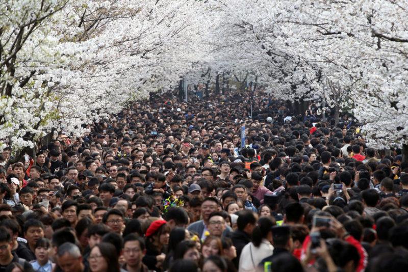 Люди толпятся на улице с цветущими вишневыми цветами возле храма Джимминг в Нанкине, провинция Цзянсу, Китай.