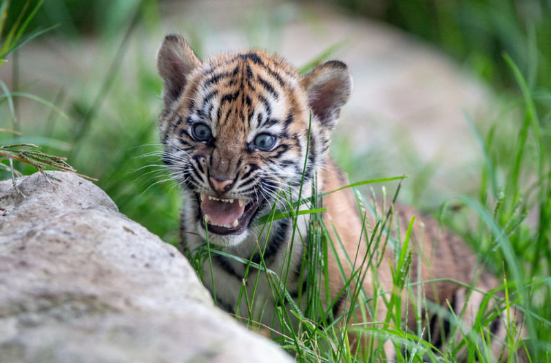Тигр в зоопарке Таронга