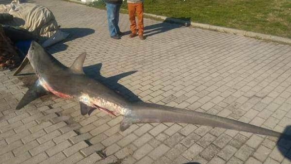 акула лиса
