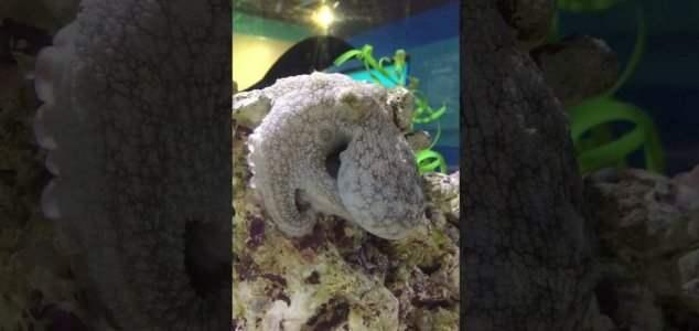 спящий осьминог