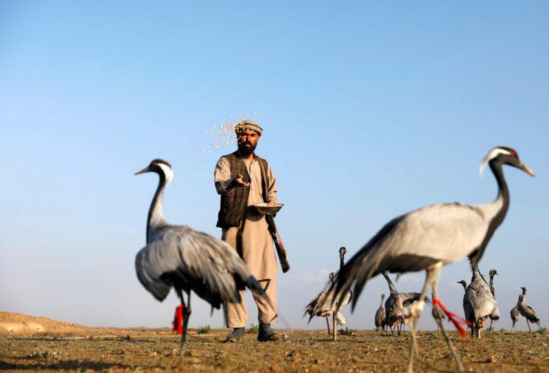 Афганский охотник кормит своих журавлей