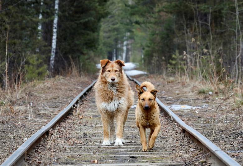 Бродячие собаки гуляют по железной дороге