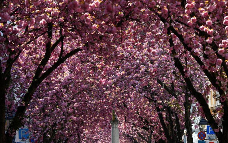 Вишневые деревья в Бонне