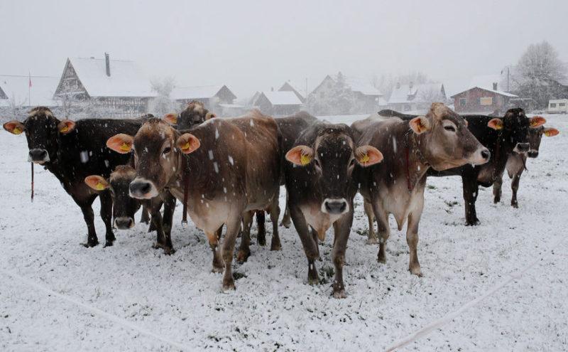 Коровы бегут