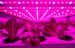 Технология выращивания домашнего салата