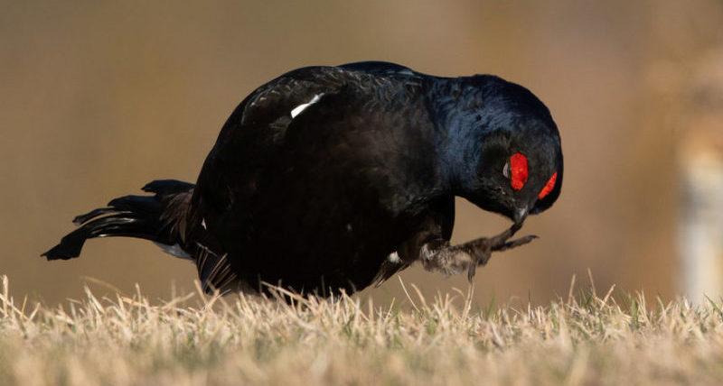 Черная куропатка