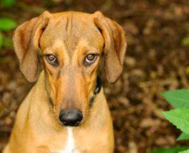 рак собаки