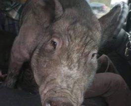 свинья на коленях