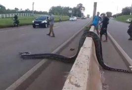 Анаконда на дороге в Бразилии
