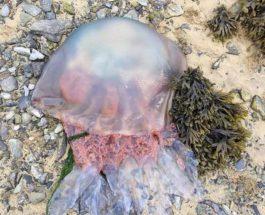 Британия медузы.