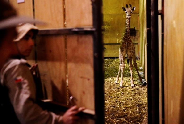 Младенца-жирафа