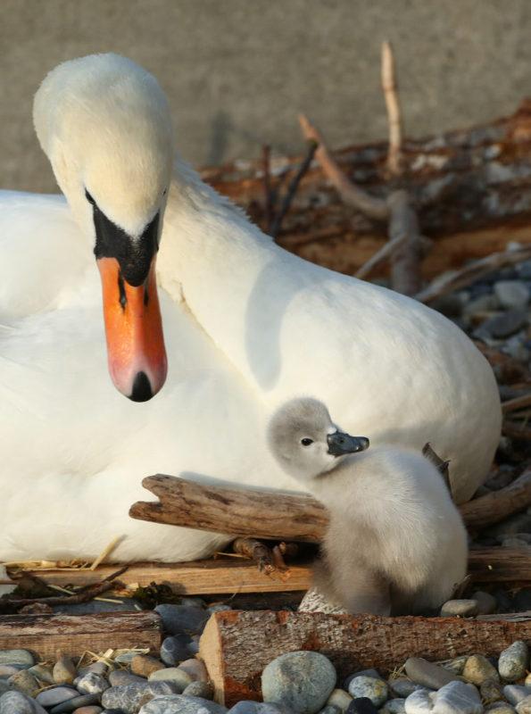 Новорожденный лебедь