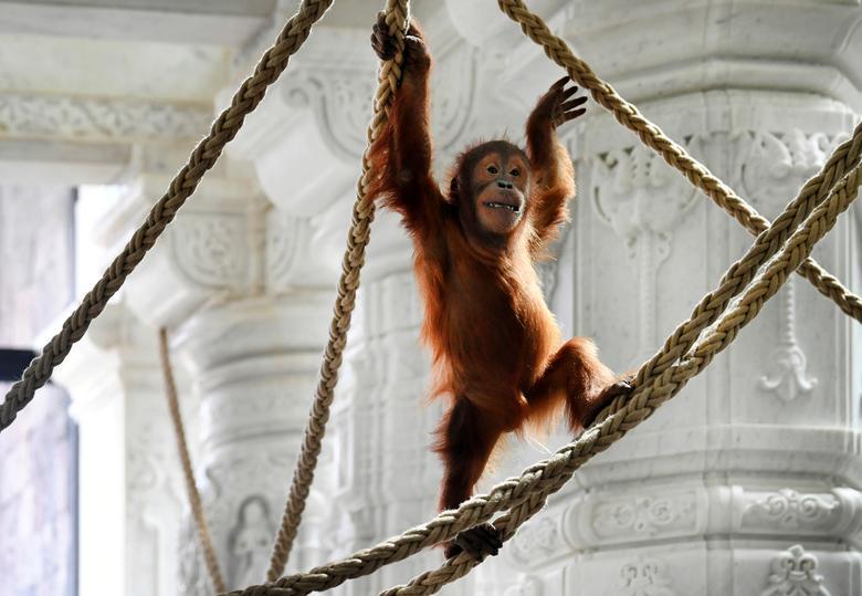 Новорожденный орангутан