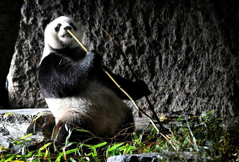 Панда в парке дикой природы