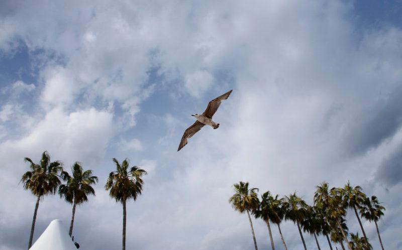 Чайка летит над пальмами в Каннах