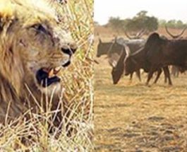 камерун львы