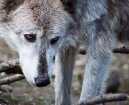 собаки волки