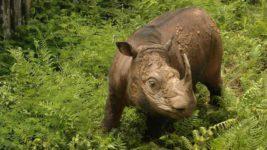 сумаританский носорог