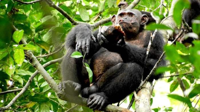 шимпанзе начали есть черепа