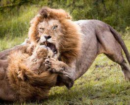 Кения львы драка