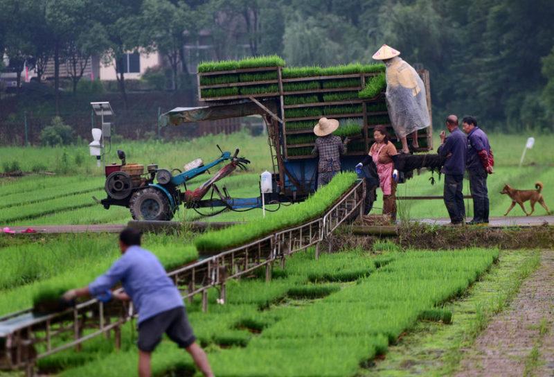 Люди на рисовом поле