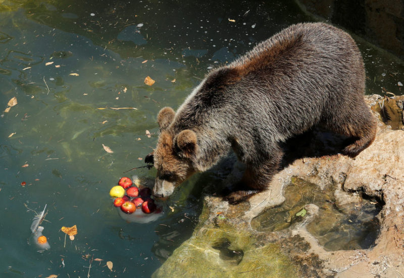 Медведь с замороженными фруктами