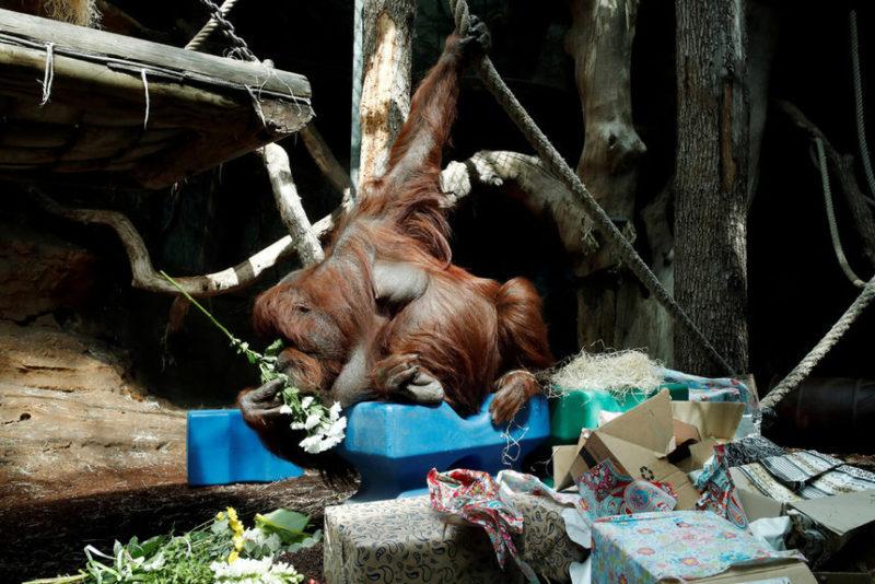 Орангутан Ненет