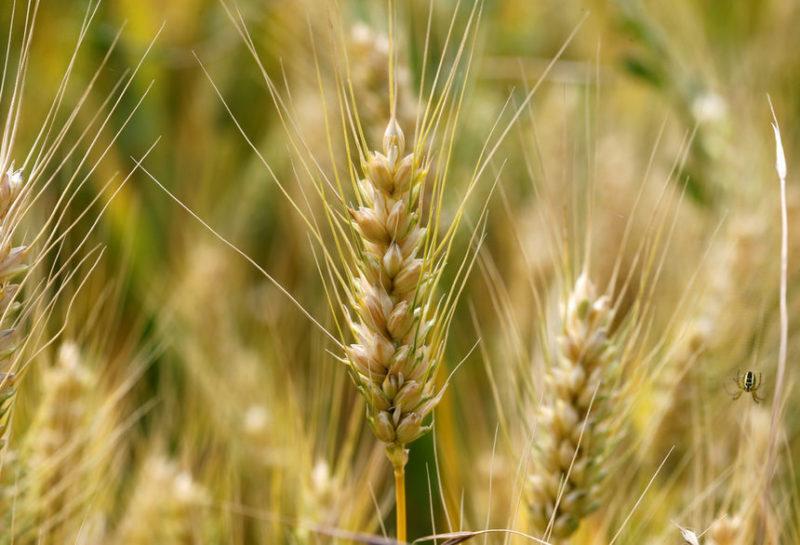 Пшеничное поле во Франции.