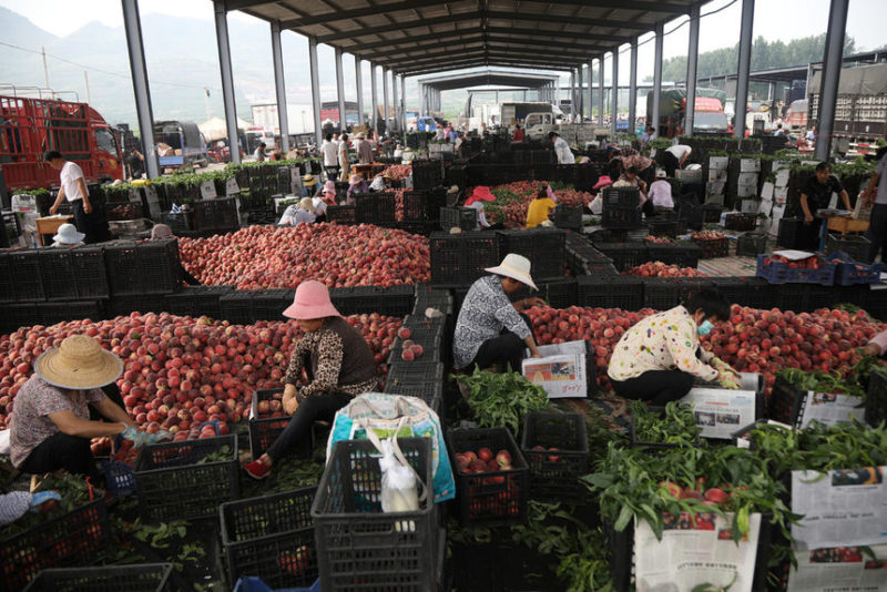 Рабочие сортируют свежие собранные персики