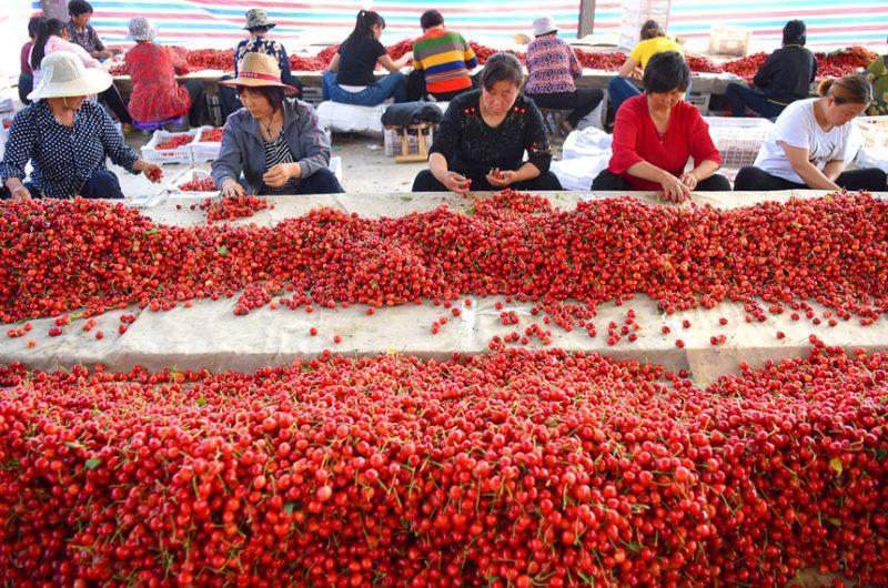 Рабочие сортируют черешню