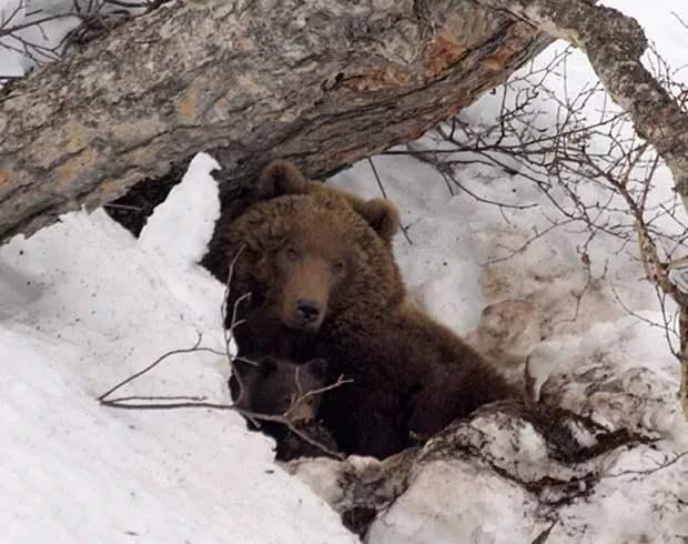 провел месяц в берлоге медведя