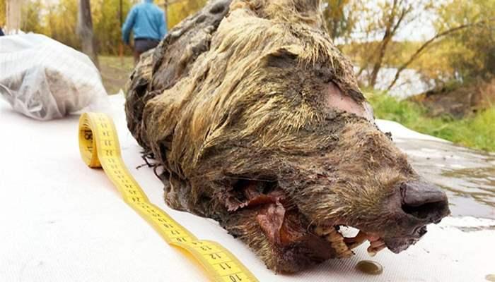 40000-летняя волчья голова
