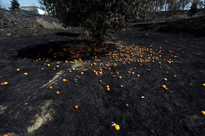 Апельсиновое дерево после лесного пожара