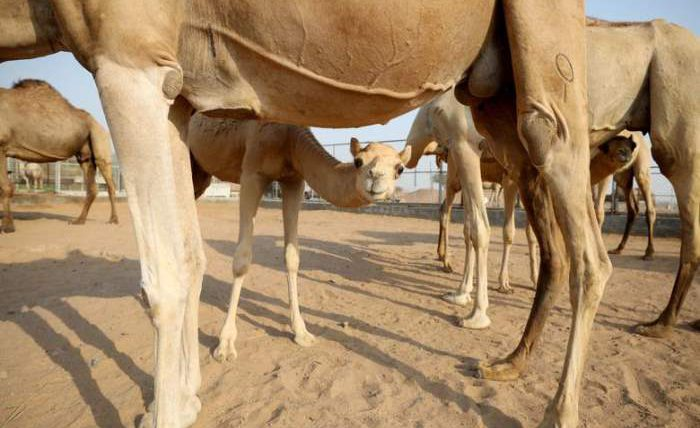 Верблюды на ферме в деревне Аден