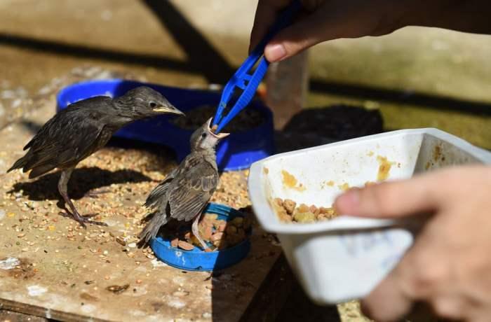 Волонтер кормит молодых птенцов