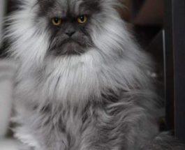 Кошка со странными прическами